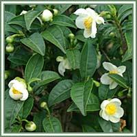 Camelliasinensis